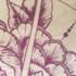Detail pioenroos
